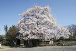 満福寺のソメイヨシノ