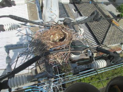 電線に営巣